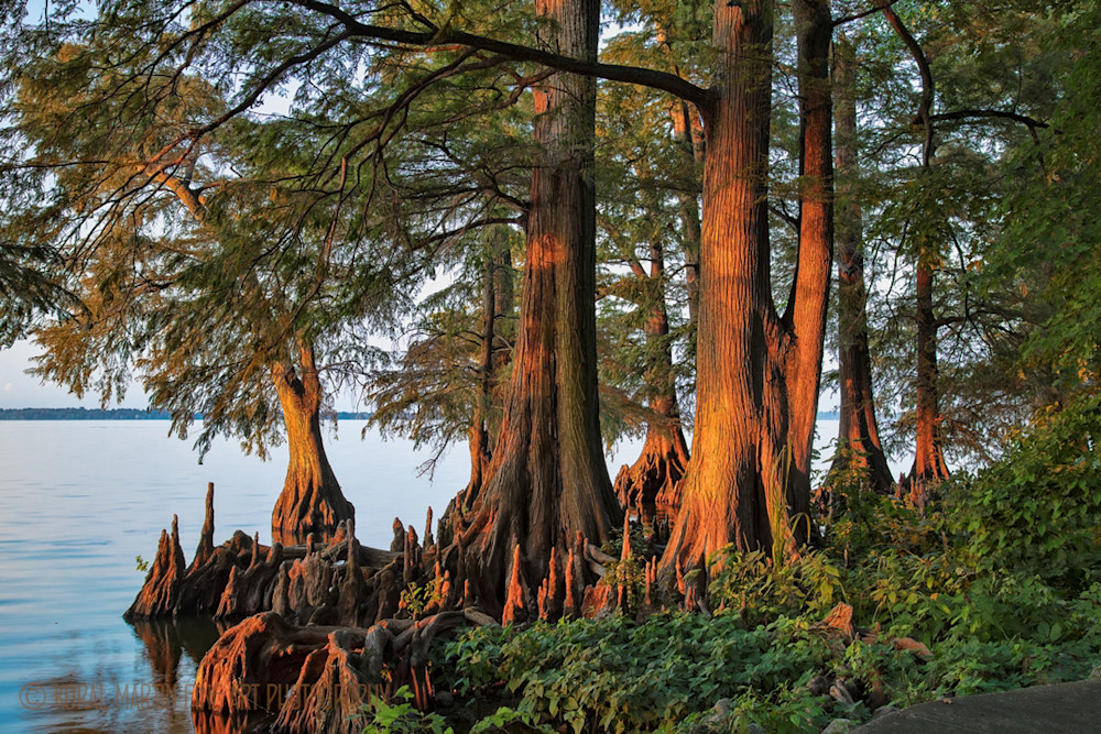 Cypress Knees Photograph 9090 | Tennessee Photography | Koral Martin Fine Art Photography