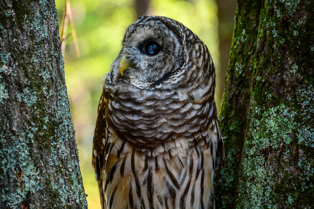 Barred Owl Photography Art   Colin Hocking Photography