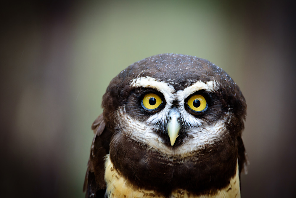 Spectacled Owl Photography Art | Colin Hocking Photography