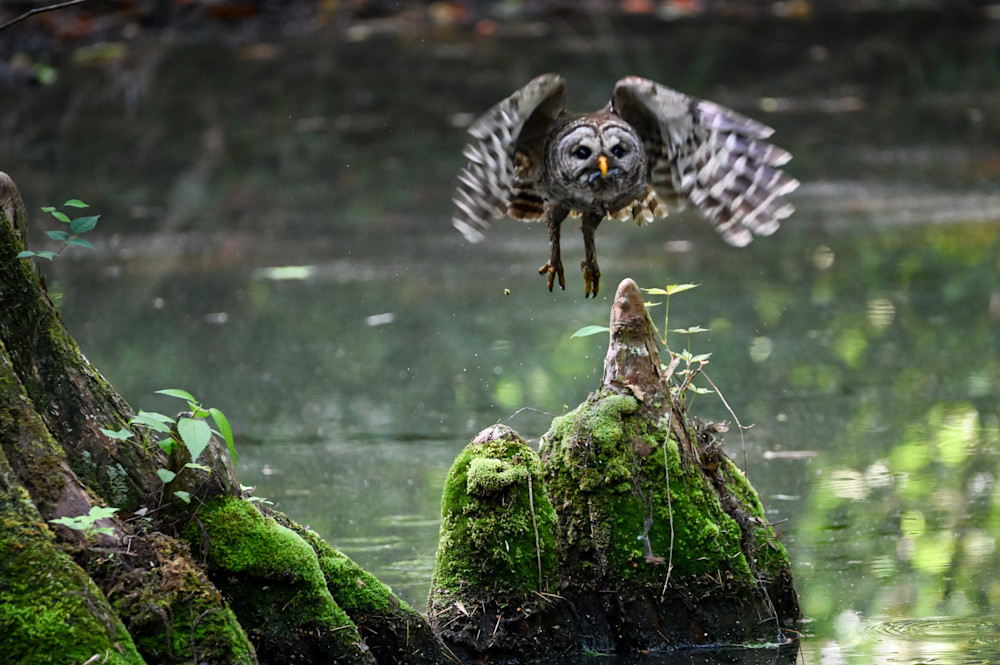 Barred Owl Photography Art | Colin Hocking Photography