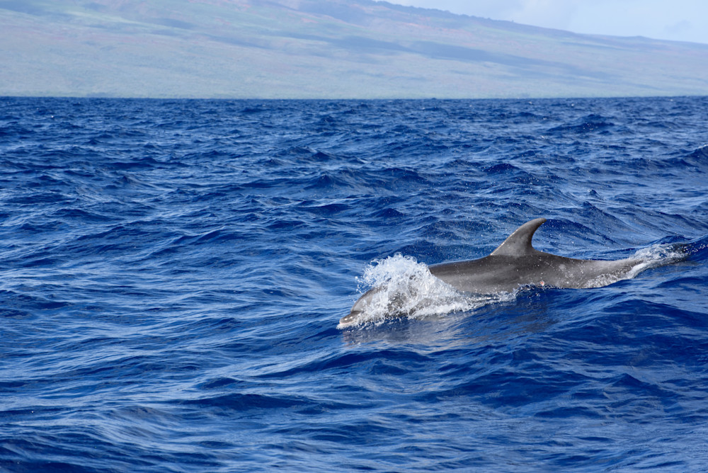 Dolphin Photography Art | Colin Hocking Photography
