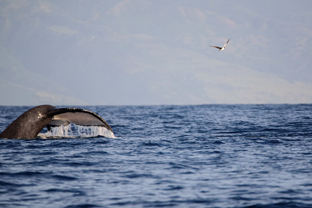 Humpback Whale Photography Art | Colin Hocking Photography