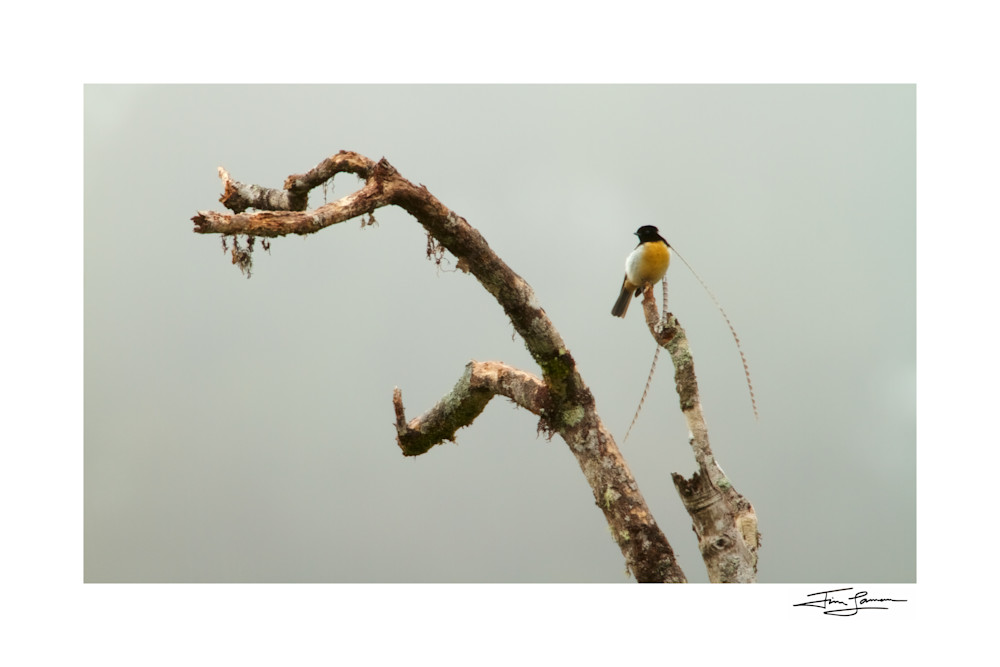 King-of-Saxony Bird-of-Paradise on a dead tree, PNG.