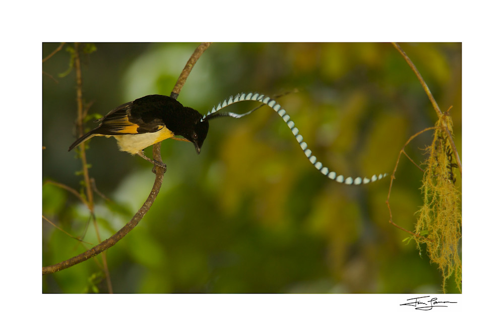 King-of-Saxony Bird-of-Paradise bouncing on a vine.