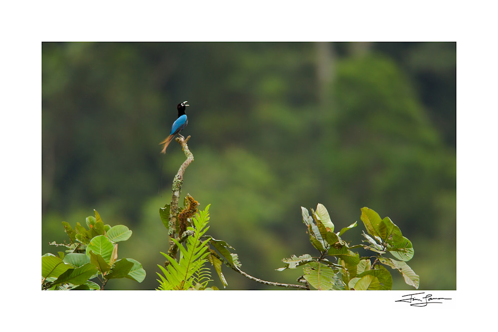 Blue Bird-of-Paradise Calls from the Canopy in the Eastern Highlands Province of Papua New Guinea.