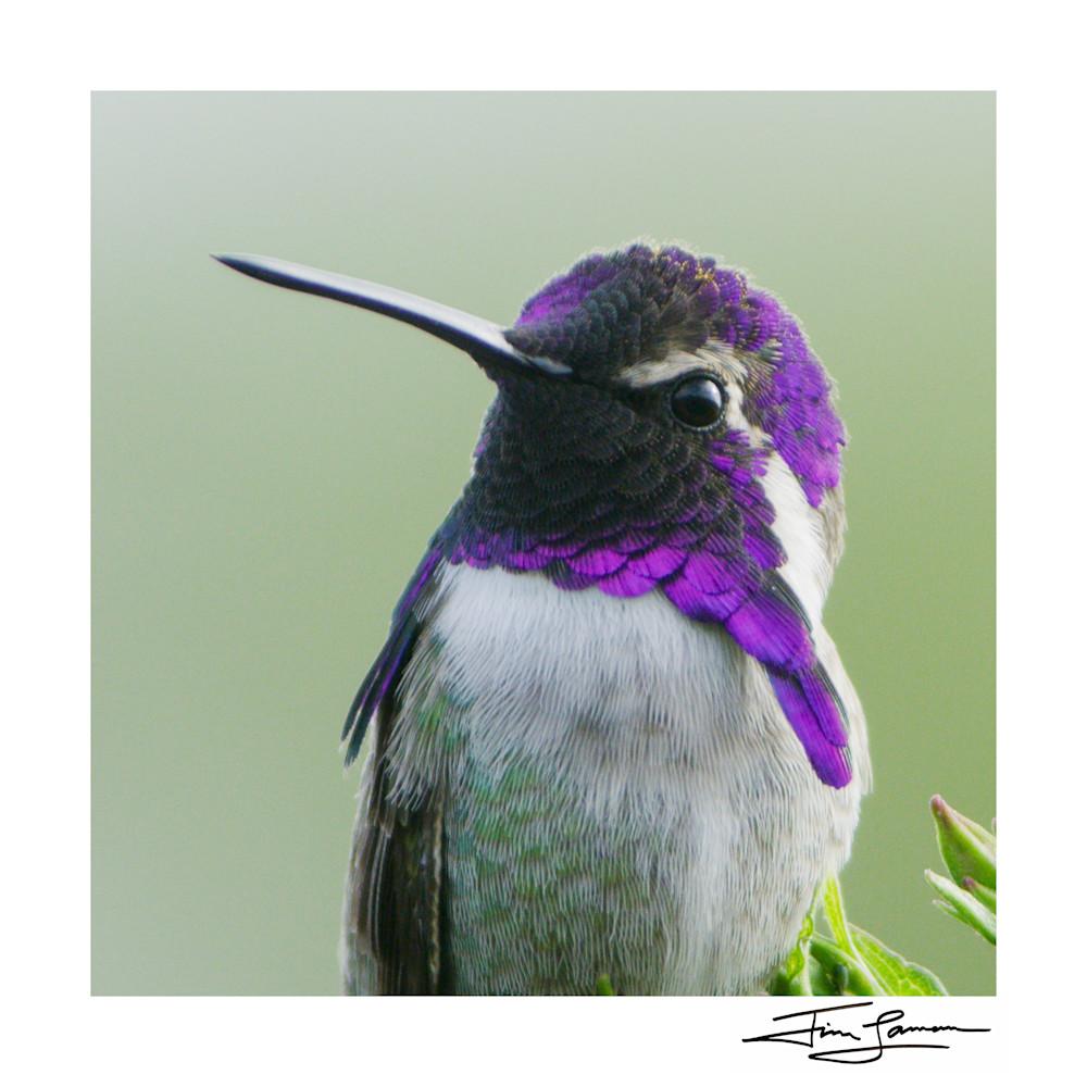 A Purple Gem (Square) Photography Art | Tim Laman
