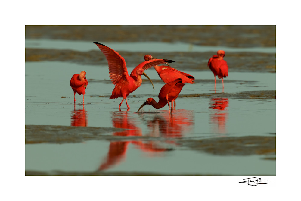 A group of Scarlet Ibises (Eudocimus ruber) foraging.