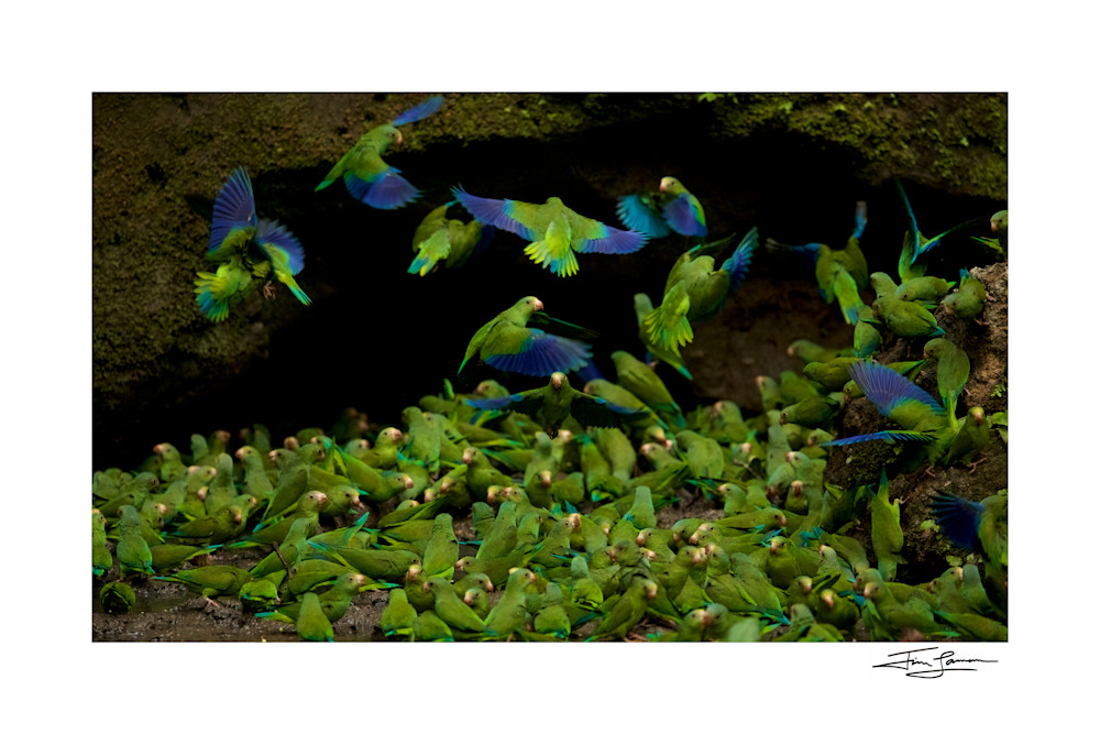 Cobalt-winged Parakeets (Brotogeris cyanoptera) feeding on clay at the clay lick east of Anangu and south of the Napo River.
