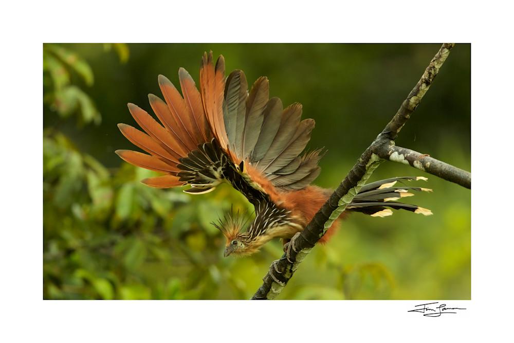 Hoatzin (Opisthocomus hoazin) above Anangu creek in Yasuni National Park, Orellana Province, Ecuador.