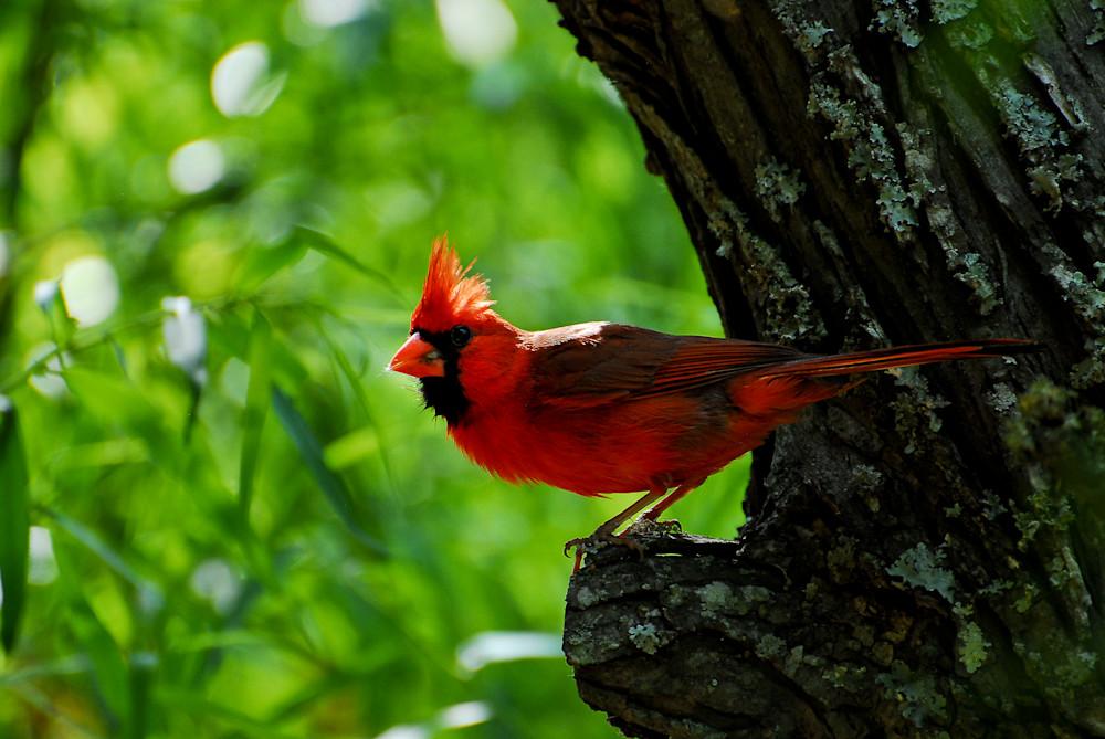 Cardinal Photography Art | Colin Hocking Photography