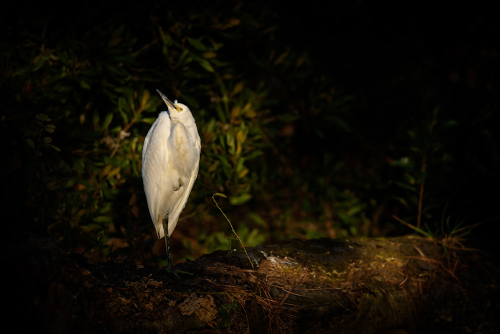 Egret Photography Art | Colin Hocking Photography