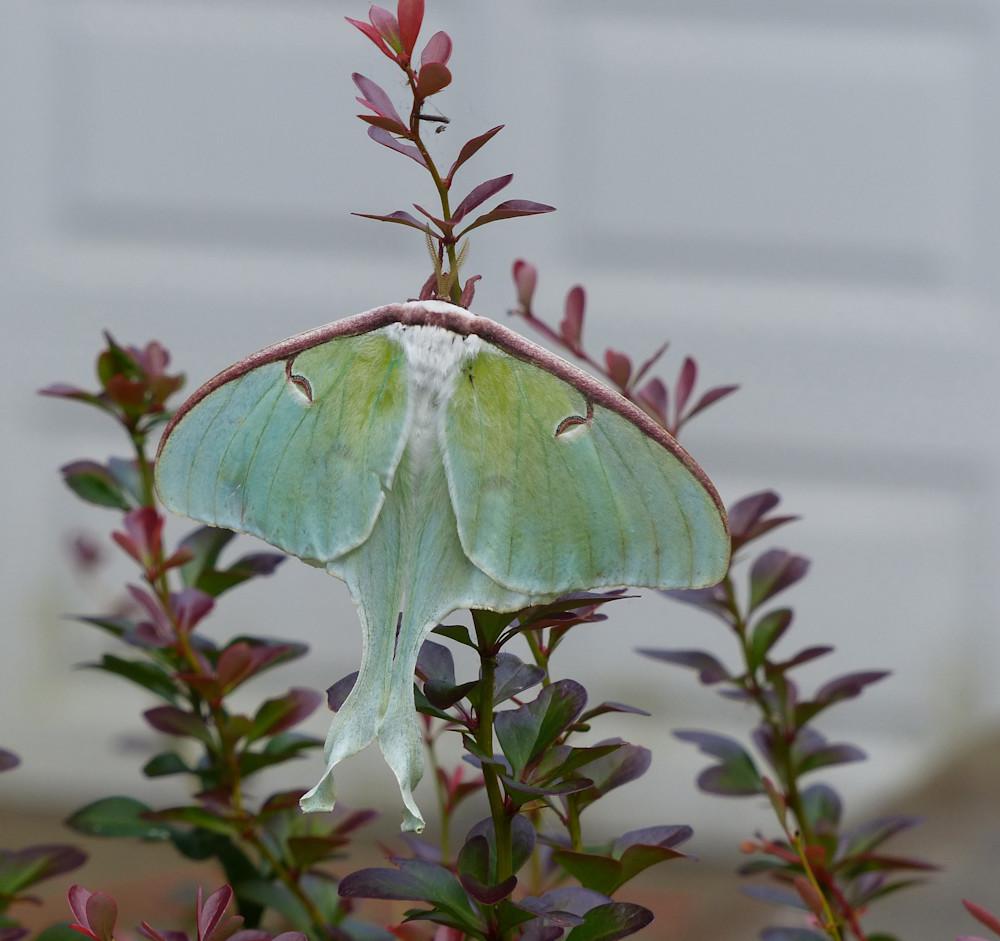 Luna Moth | Tom Nolan | Roost Artist