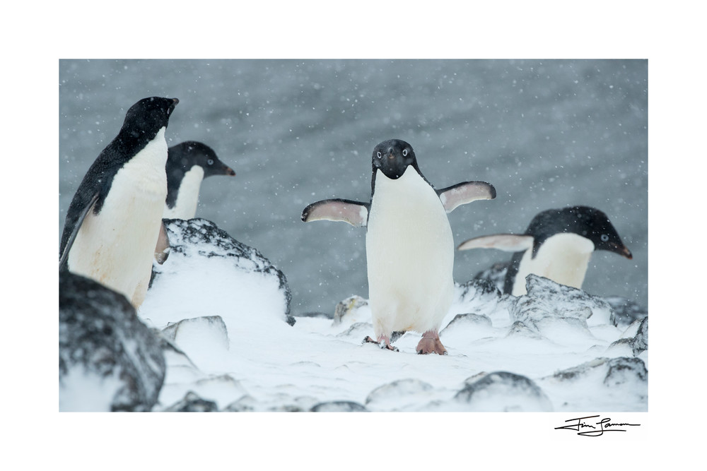 Photograph of Adelie Penguins in a snowstorm.