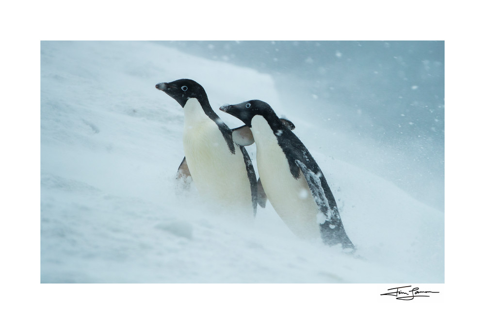 Photo of an Adelie Penguin comforting a companion in a snowstorm.