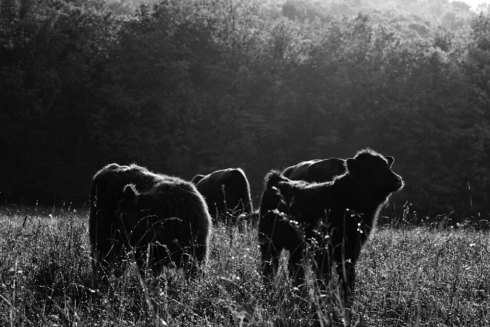 Highland Cattle Calves | Field, Pasture, Farm Fine Art Photography | Nathan Larson