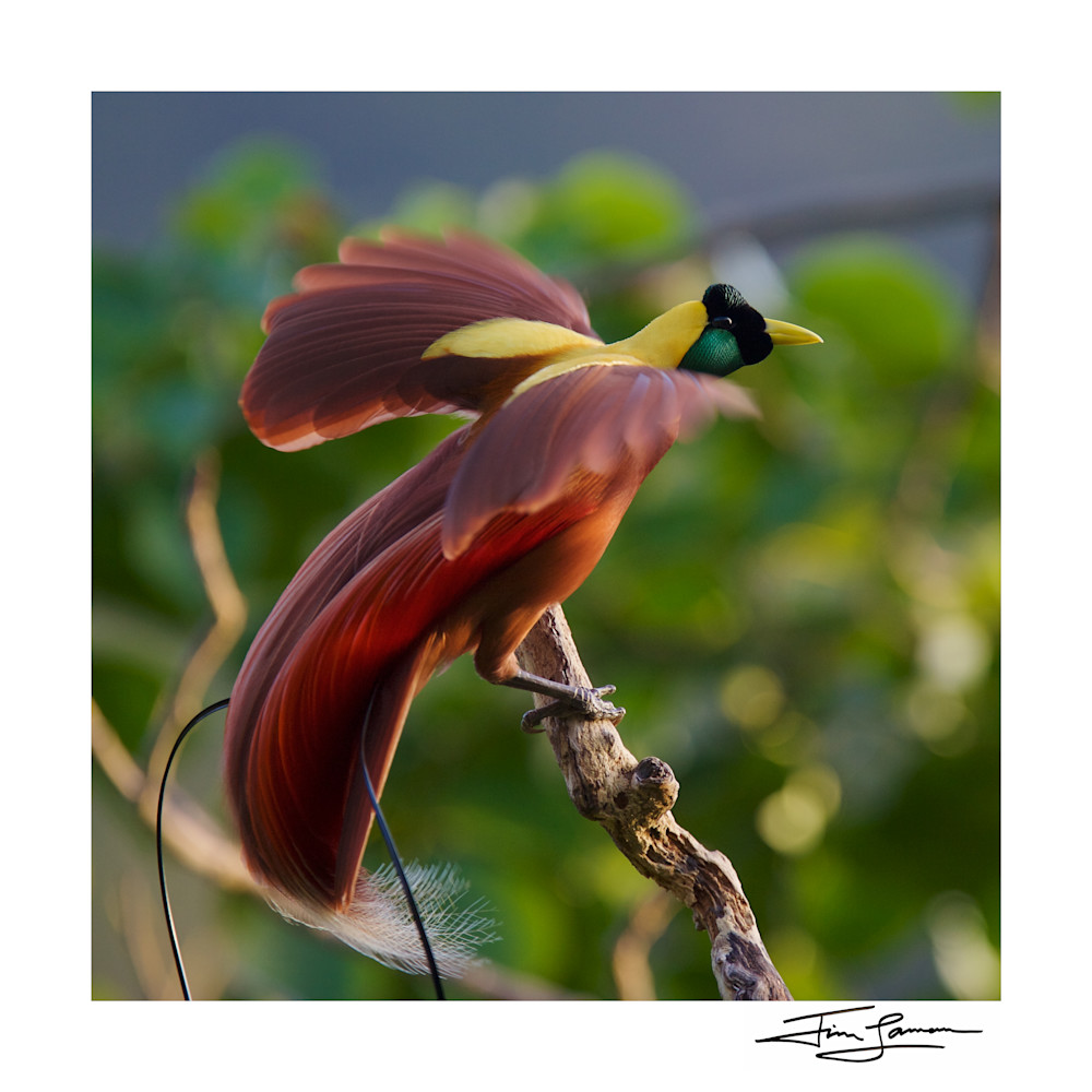Square crop of the Red Bird-of-Paradise Sunrise Display.
