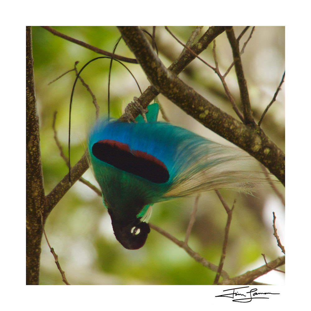 Square crop of the Blue Bird-of-Paradise Inverted Display.
