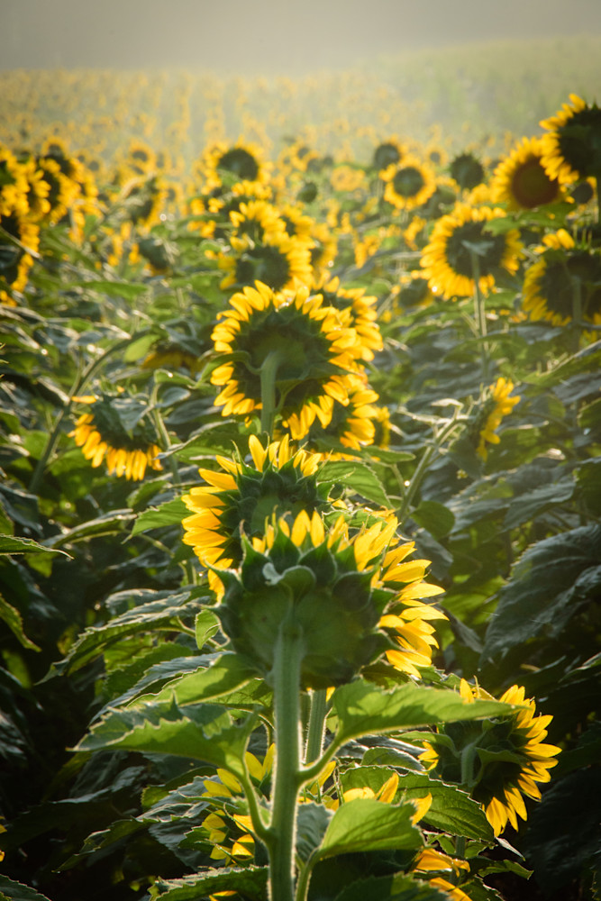 Sunflowers In The Sun Photography Art | Colin Hocking Photography