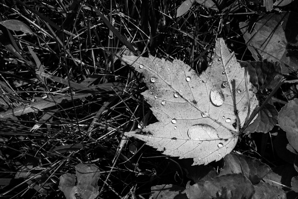 Leaf In Black And White Photography Art | Colin Hocking Photography