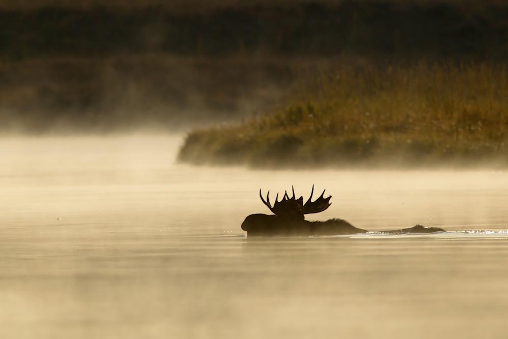 Misty Morning Moose