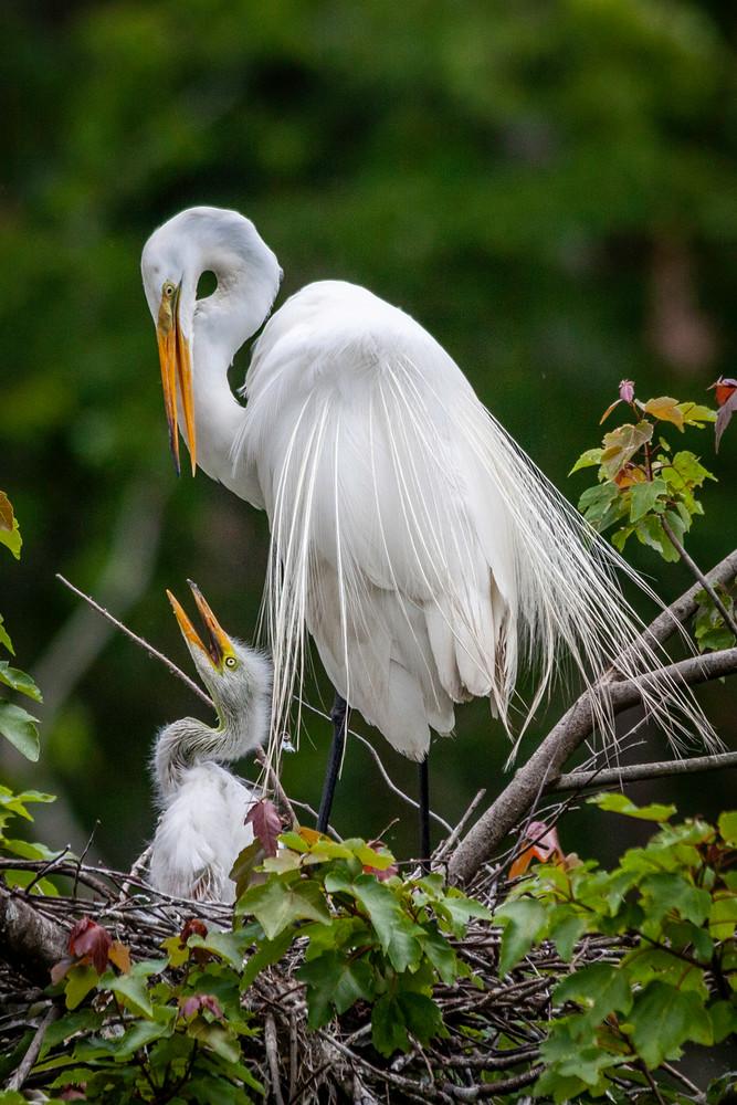 Egrets Love