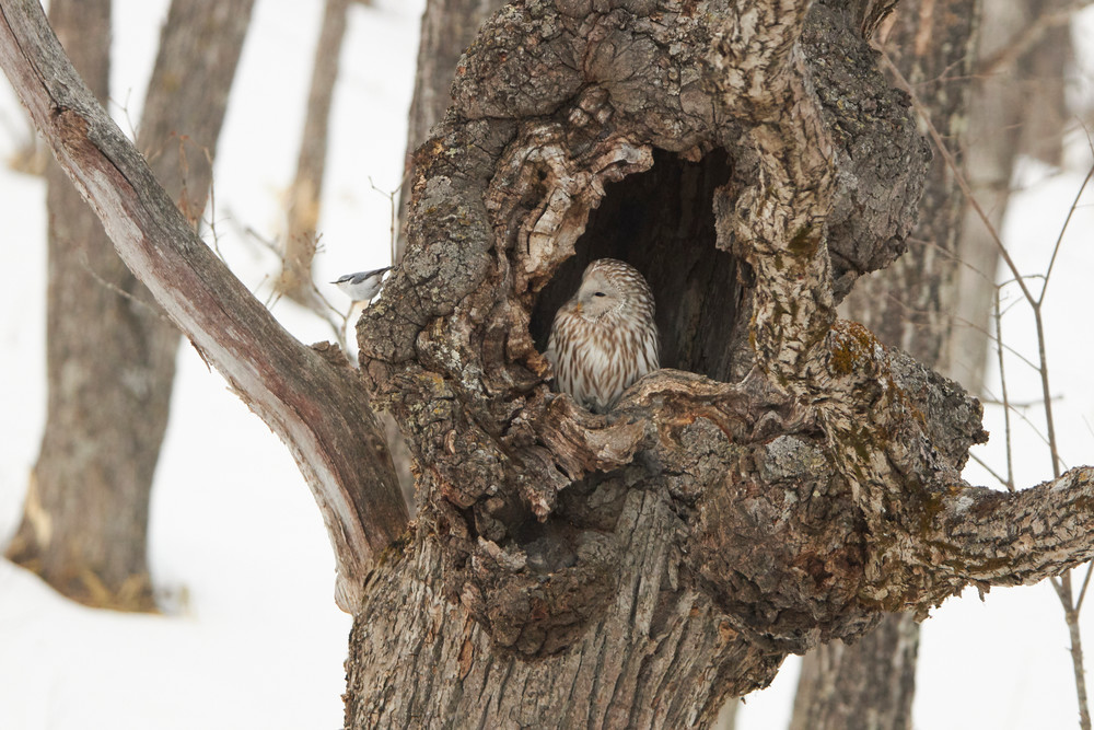 Ural Owl and Nuthatch