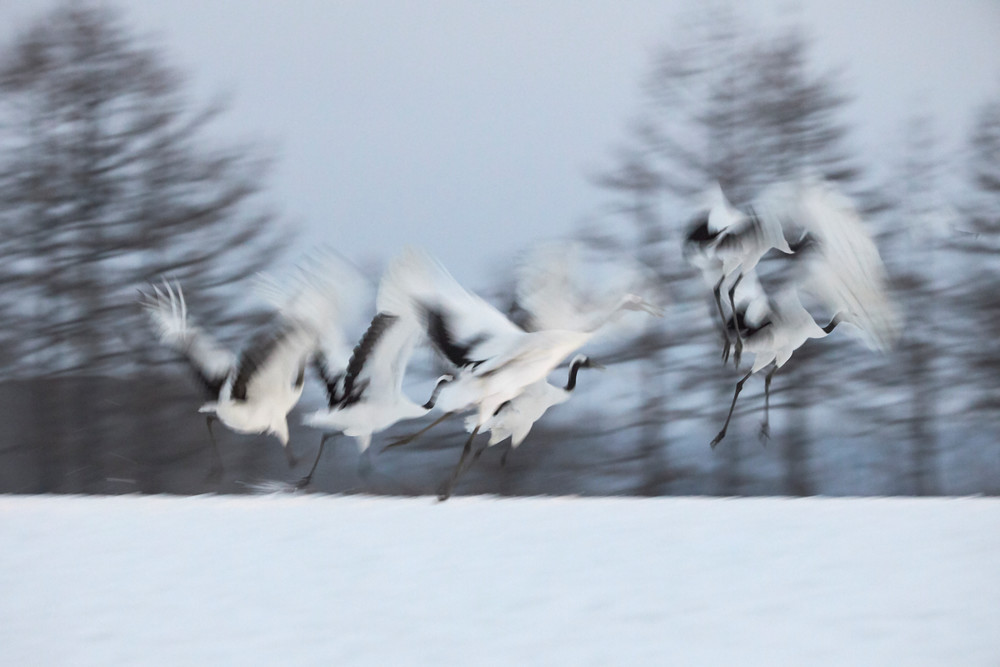 Six Cranes Take Flight