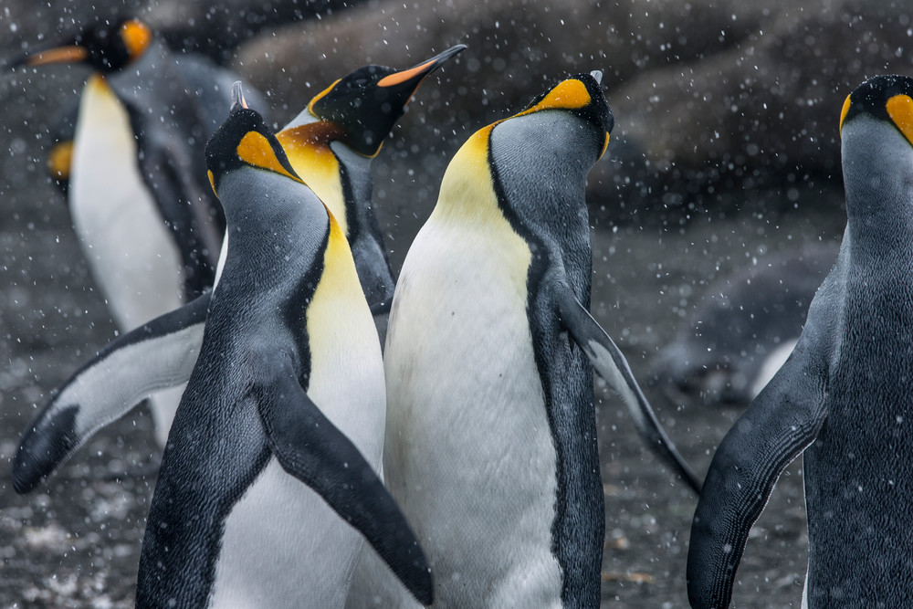 King Penguin Rave