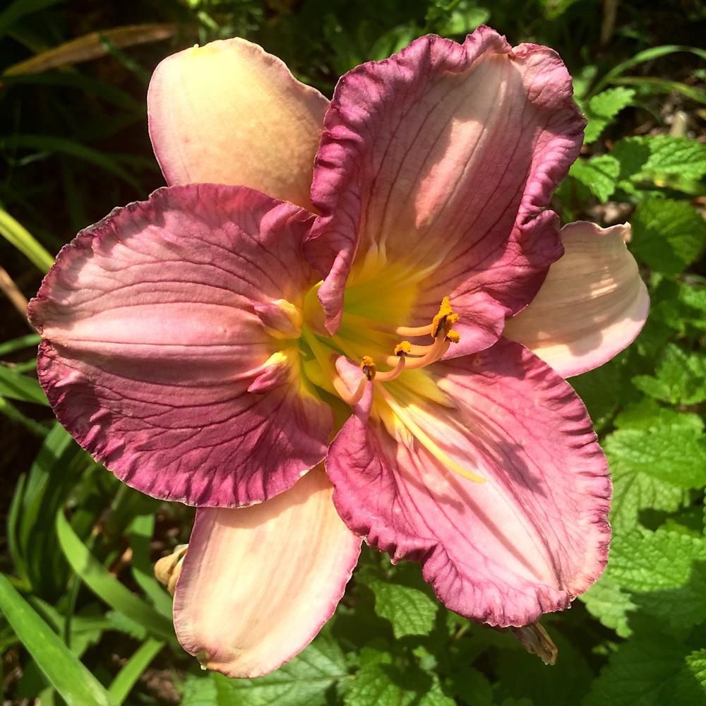 Hemerocallis (Daylily) | Texas Feathered Fancy