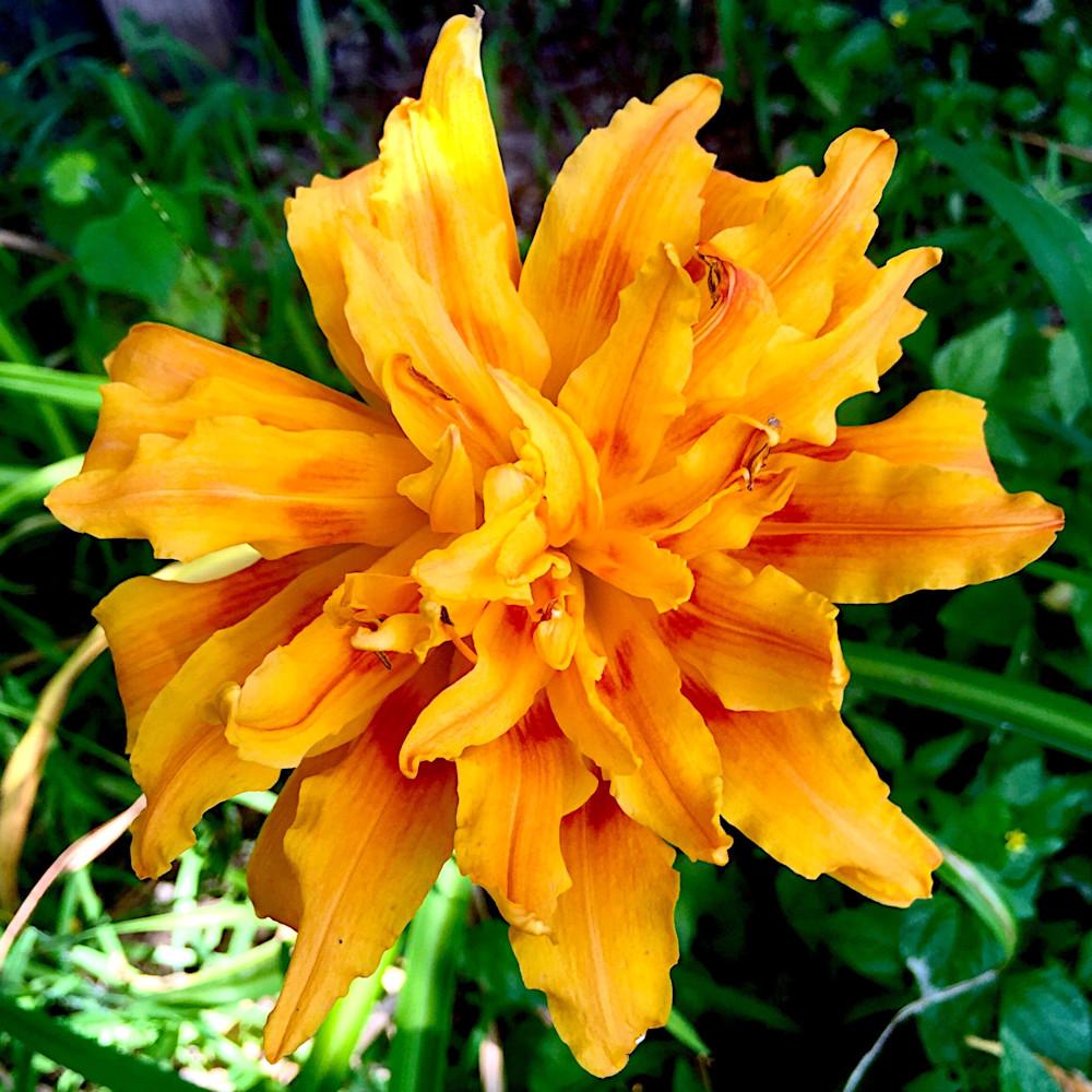 Hemerocallis (Daylily) | Fulva Kwanzo