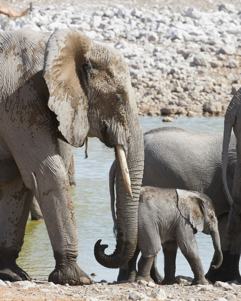Infant Elephant with Herd