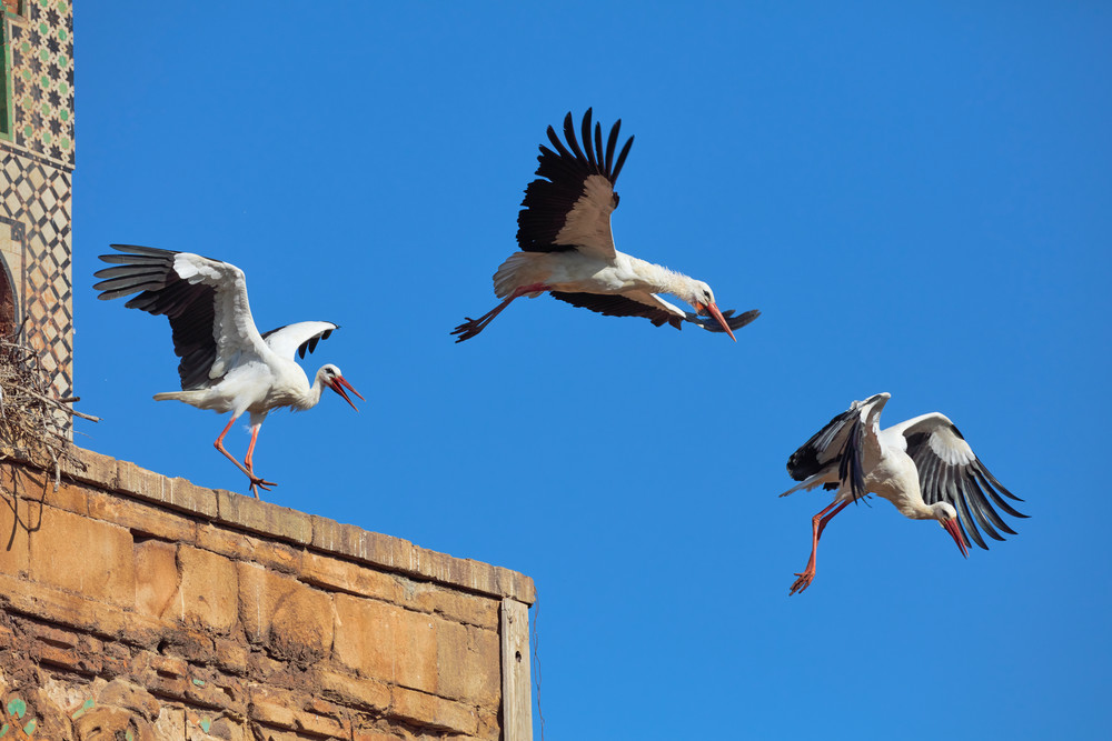 White Storks Take Flight at Chellah Necropolis