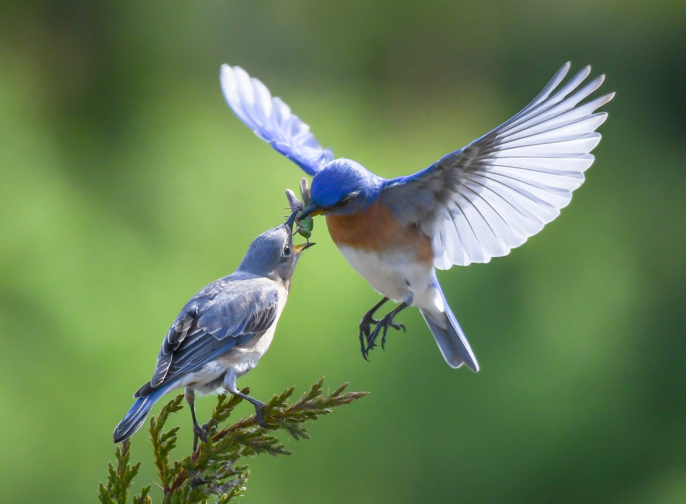 Bluebirds Feeding