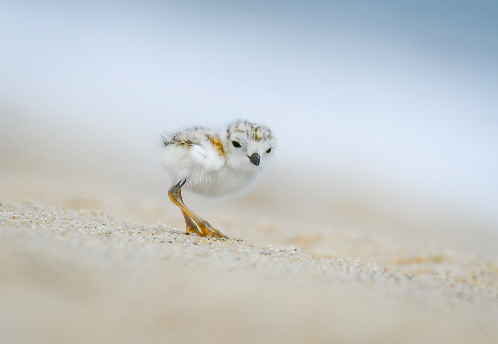 Piping Plover Chick 4 Photography Art | Sarah E. Devlin Photography