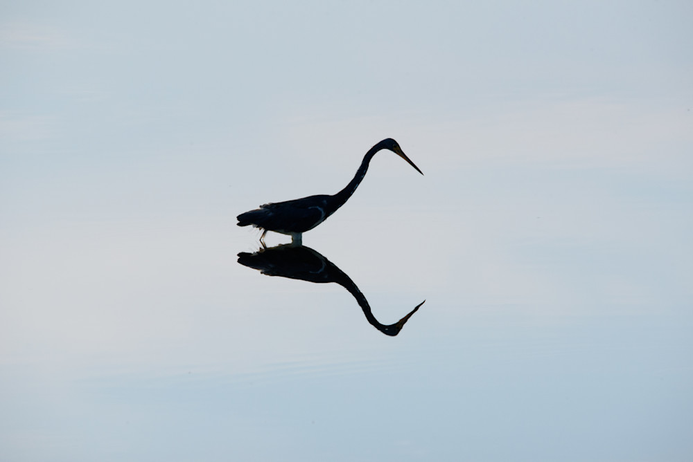 Tri Colored Heron Mirror Photography Art | Colin Hocking Photography