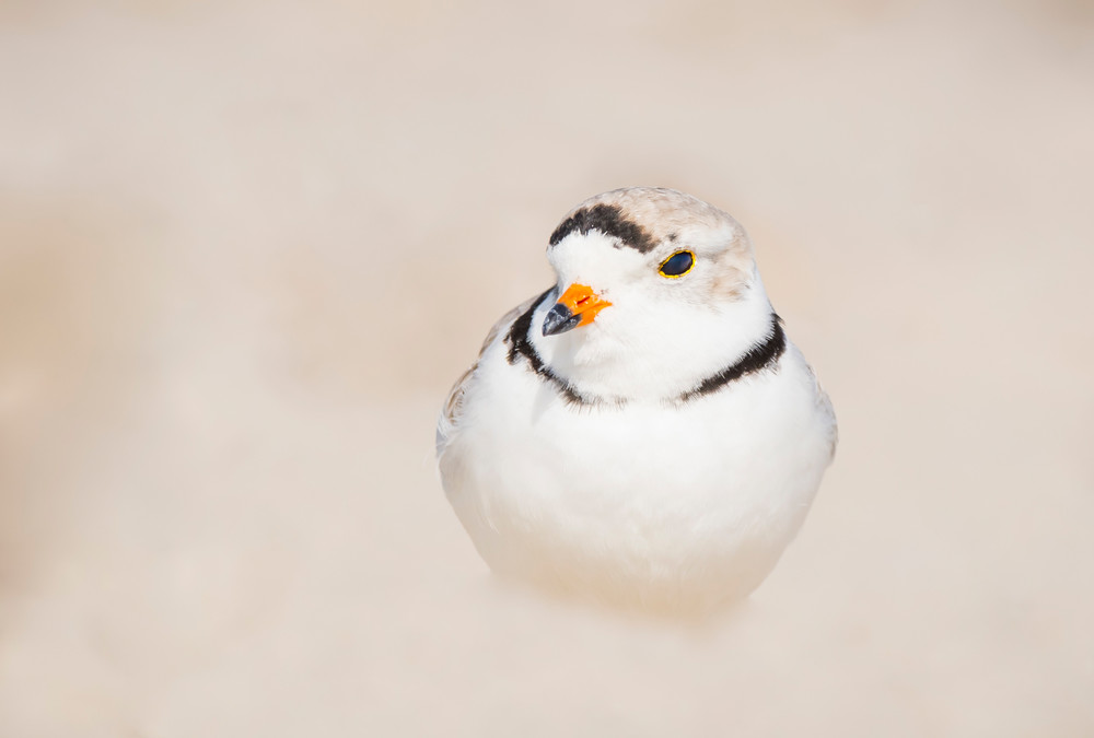 Piping Plover 2 Photography Art | Sarah E. Devlin Photography