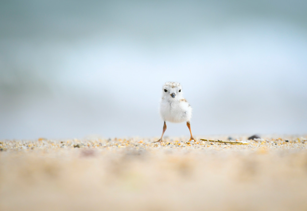 Tiny Piping Plover Chick Standing on Beach