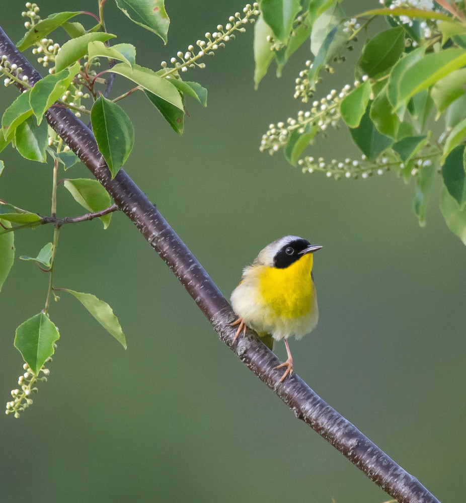 Common Yellowthroat - Perched on Branch