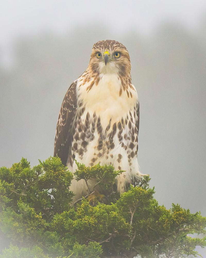 RedTailed Hawk in Fog