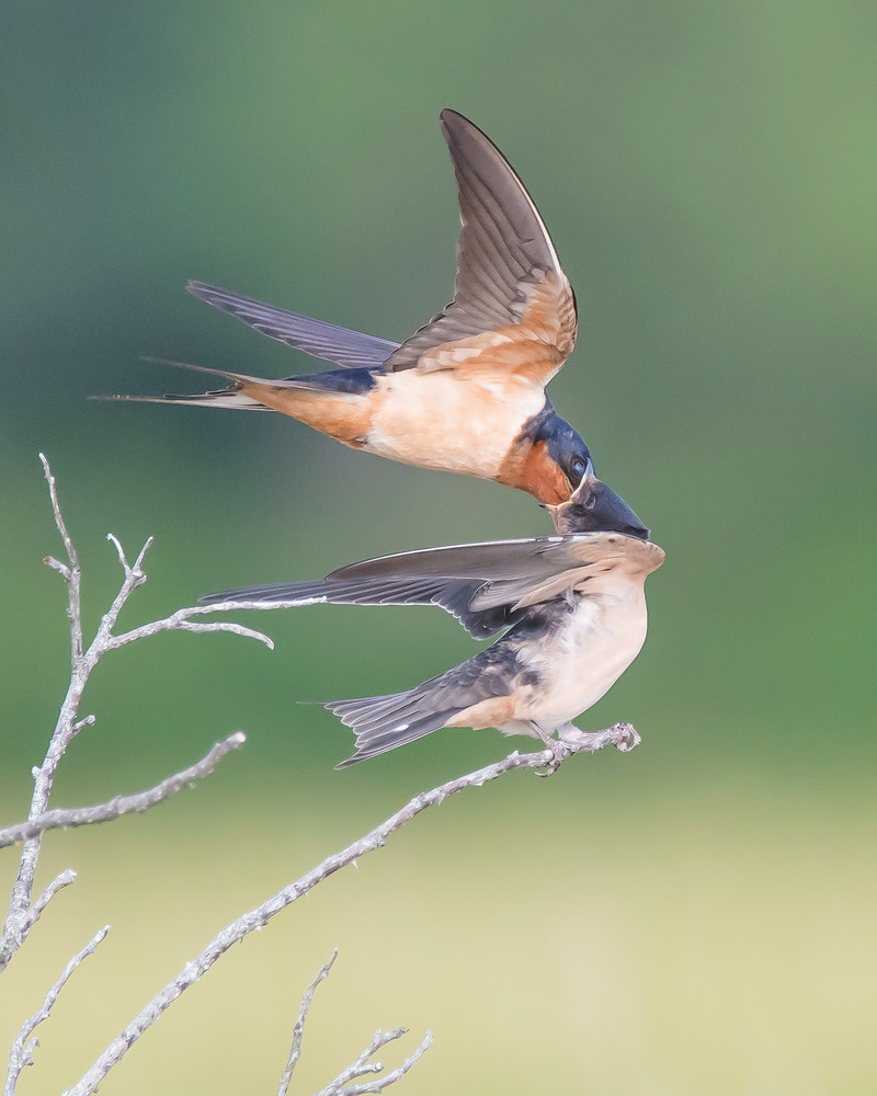 Barn Swallow - Feeding