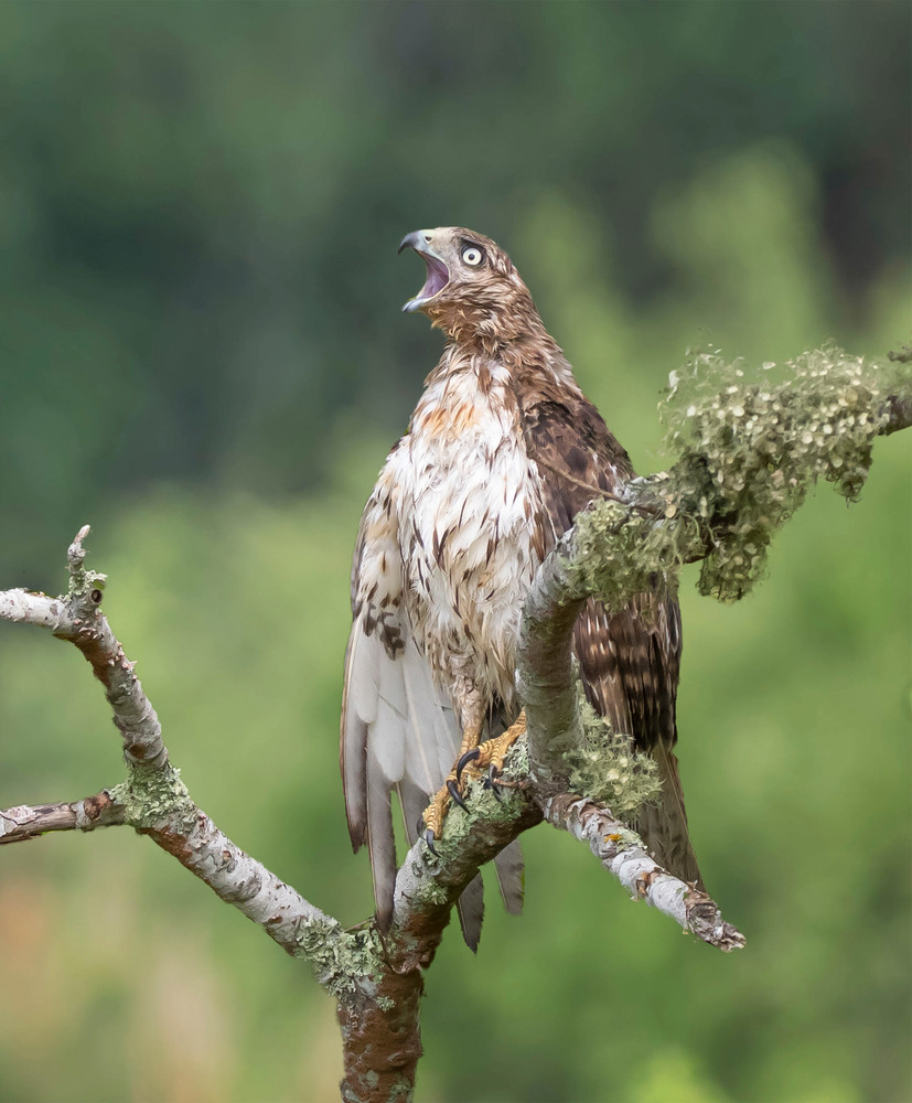 Red- Tailed Hawk - Calling