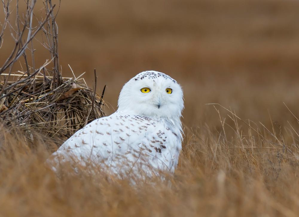 Snowy Owl - Sitting in Marsh. 2