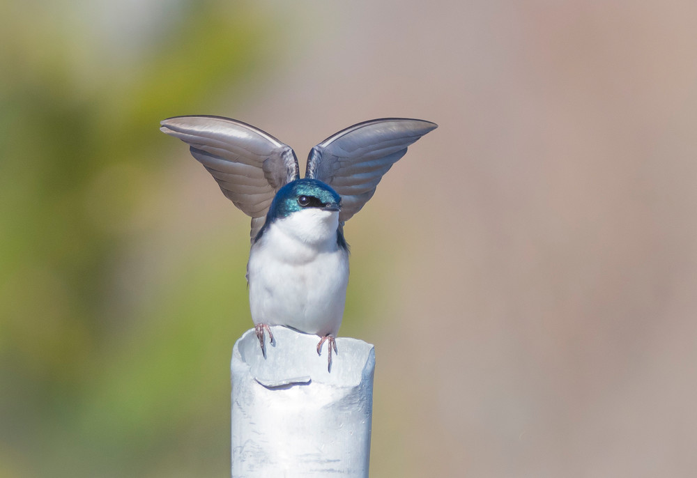Tree Swallow - Wing Display