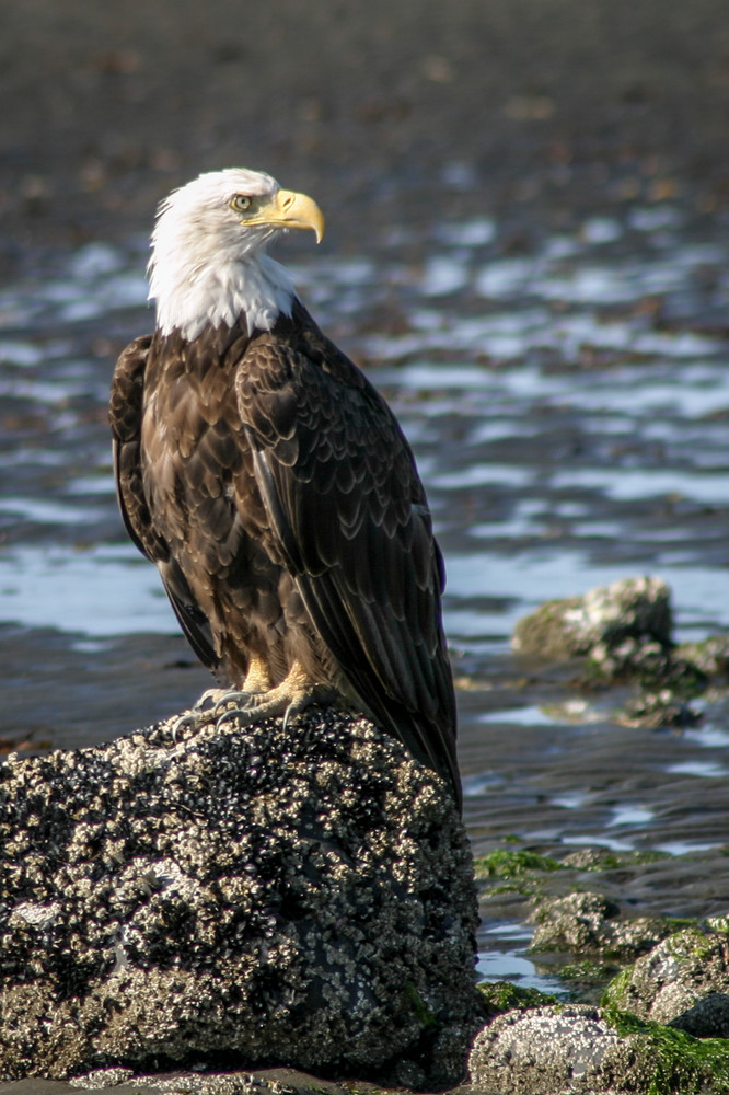 Bald Eagle surveying his domain from a rock on Homer Spit, Alaska