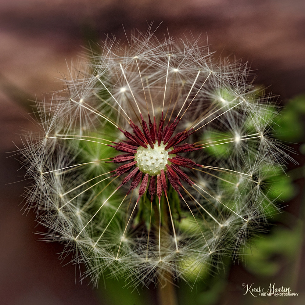 Dandelion Seed Pod Center Photograph 5685 | macro photography | Koral Martin Fine Art Photography