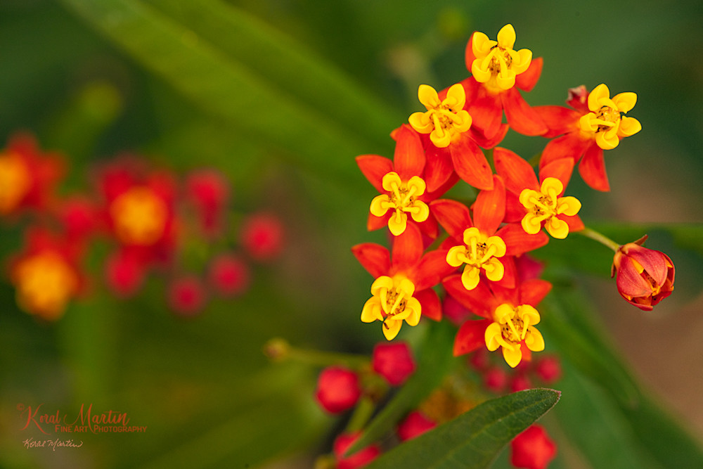 Butterfly Milkweed Photograph 6321 | Floral Photography | Macro Photography | Koral Martin Fine Art Photography