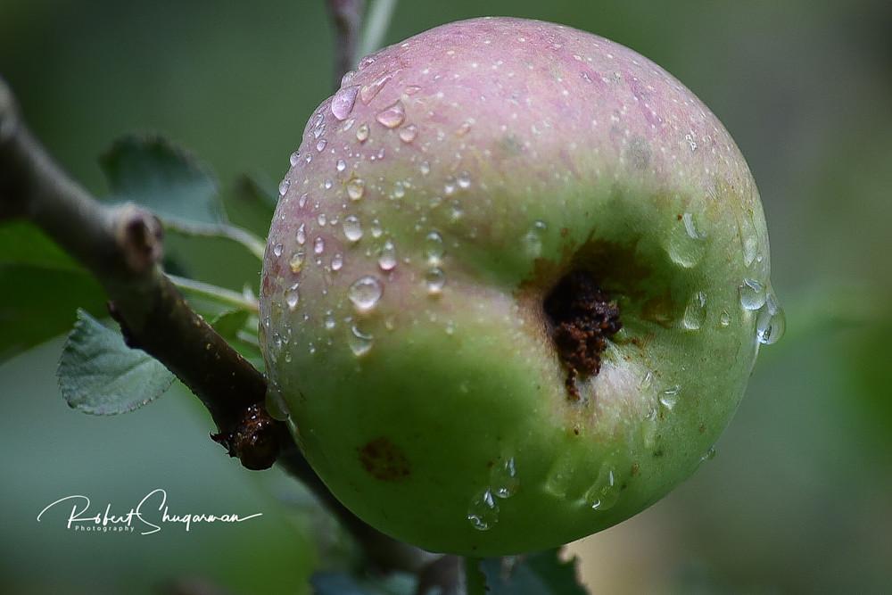 Morning Dew Collects on Apple | Shop Prints | Robert Shugarman Photography