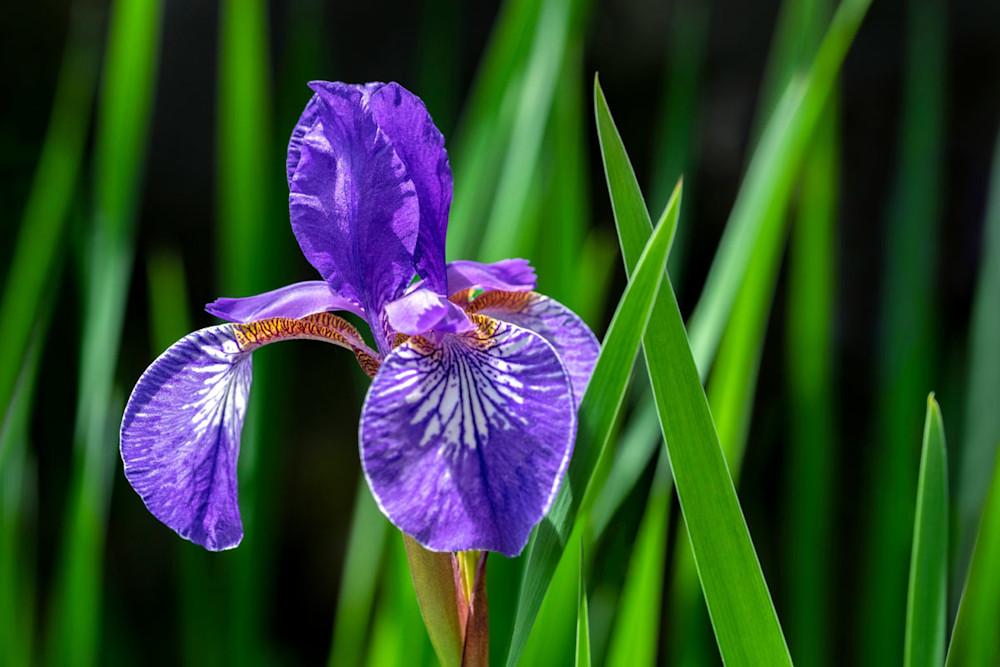 Purple Siberian Iris