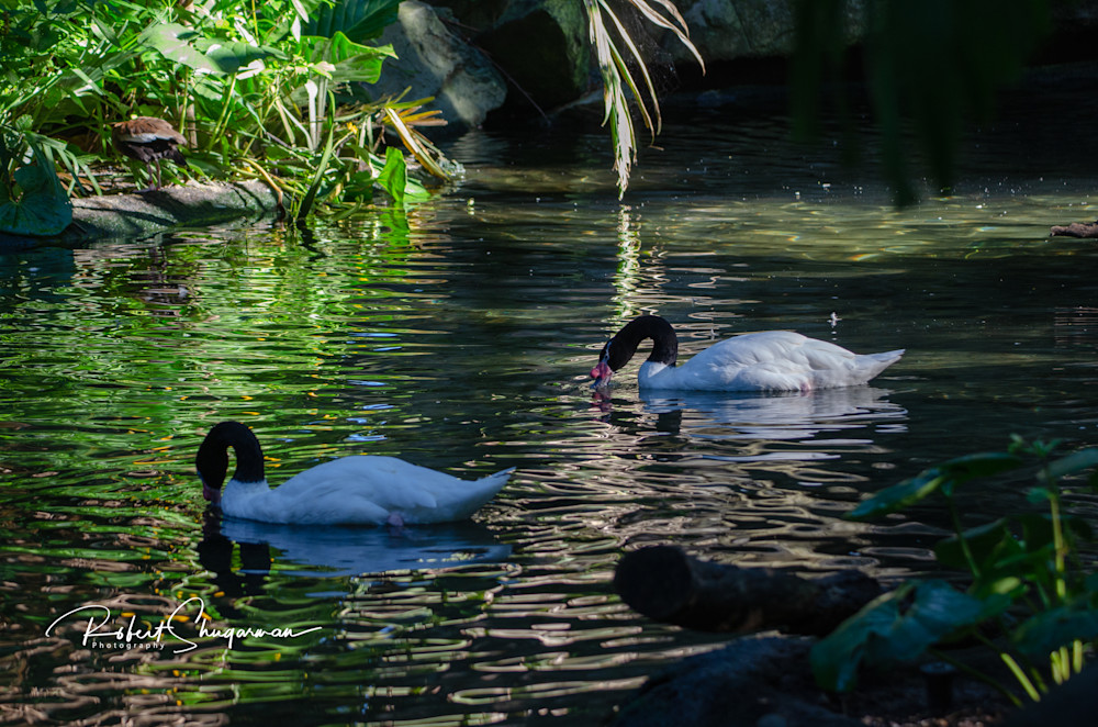 Black-necked Swans | Shop Prints | Robert Shugarman Photography