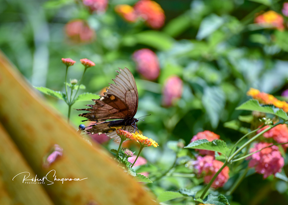 Butterfly Glory | Shop Prints | Robert Shugarman Photography